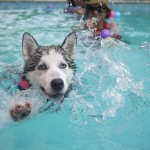Dog Swimming in Pool